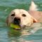 Labrador Retriever Training For Behavior
