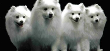 American Eskimo – Facts You Must Know Before Adopting American Eskimo
