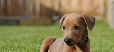 German Pinscher Dog breed Info And Facts
