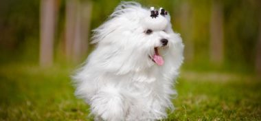 Facts About the Maltese Breed